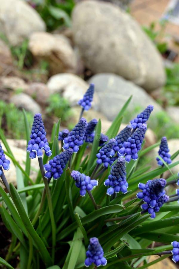 Hyacint. stock foto