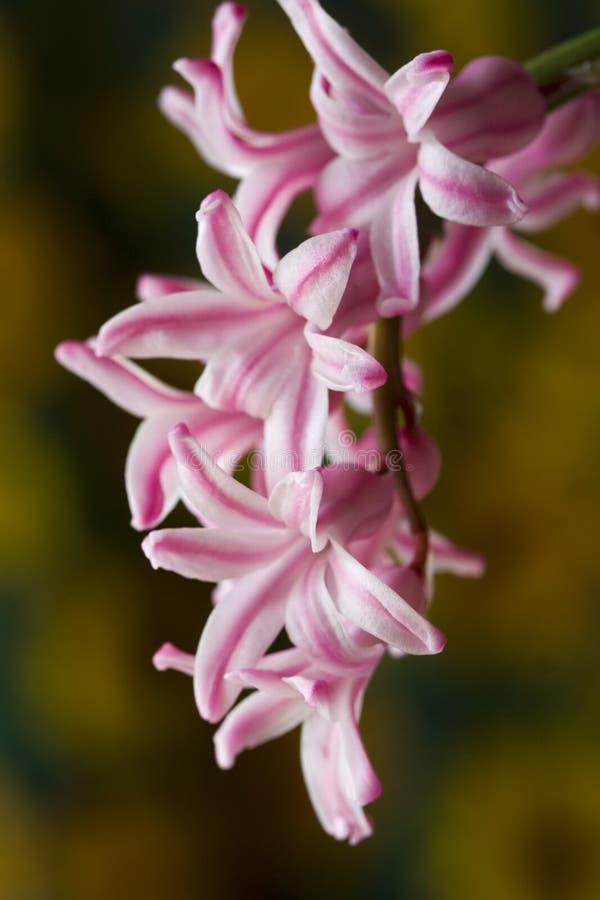 hyacint arkivfoto