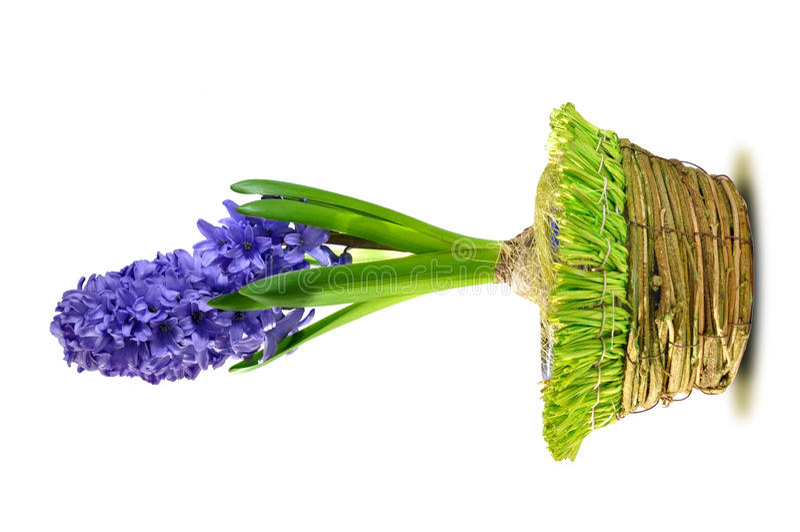 hyacint arkivfoton