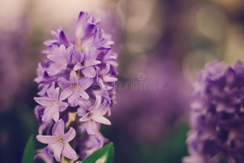 Hyacint royalty-vrije stock foto's