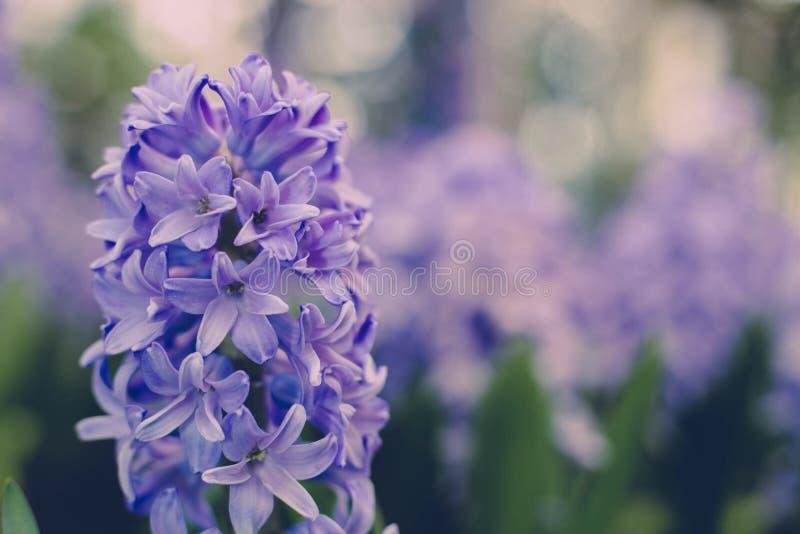 Hyacint stock afbeelding
