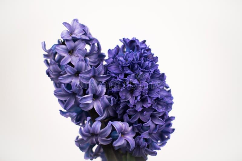 Hyacint i studio royaltyfria foton