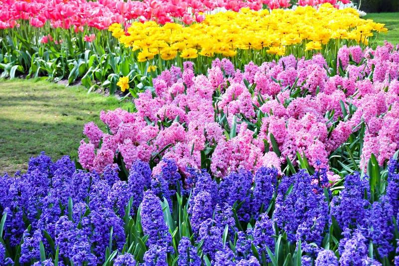 Hyacint och tulpan i fjäder royaltyfri bild