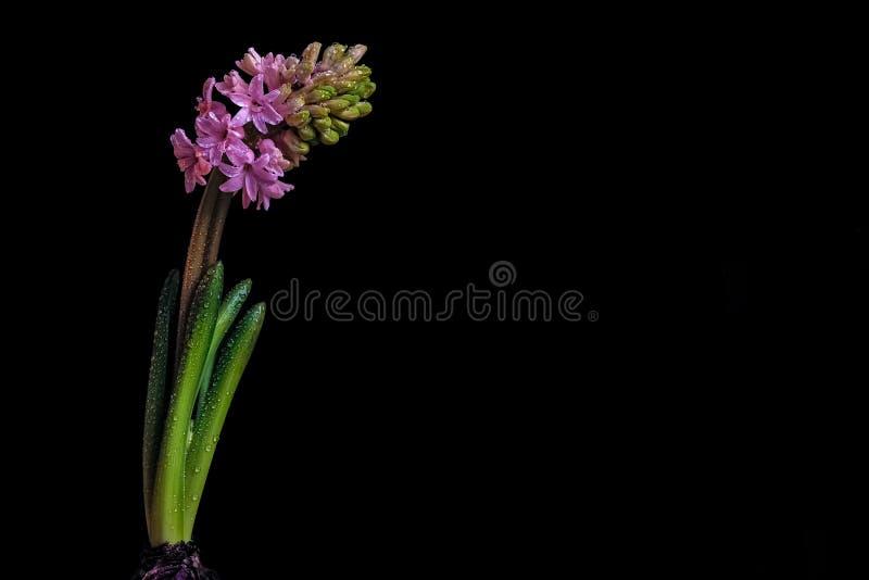 Hyacint på svart bakgrund royaltyfri foto