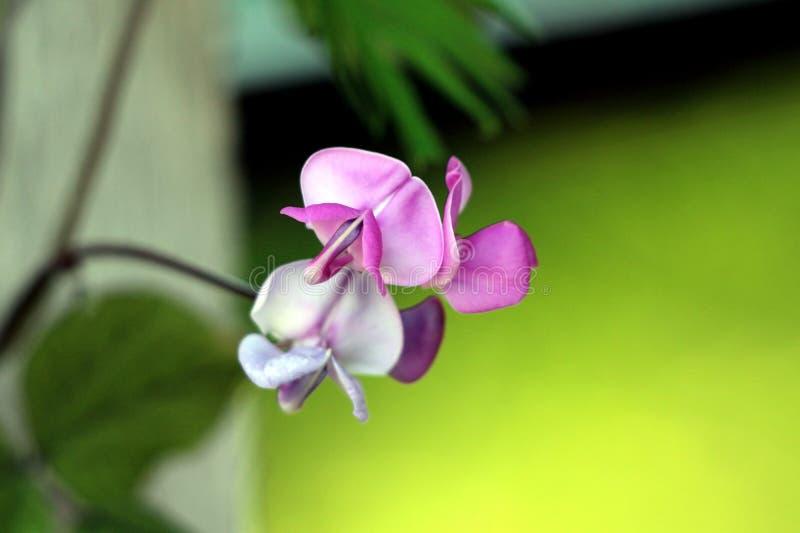 Hyacintbönan eller vinrankan för Lablabpurpureusblomningen med lilan steg blomningblommor på gröna sidor och grå väggbakgrund arkivfoto