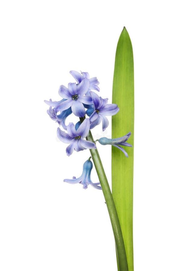 Hyacintbloemen en blad stock fotografie
