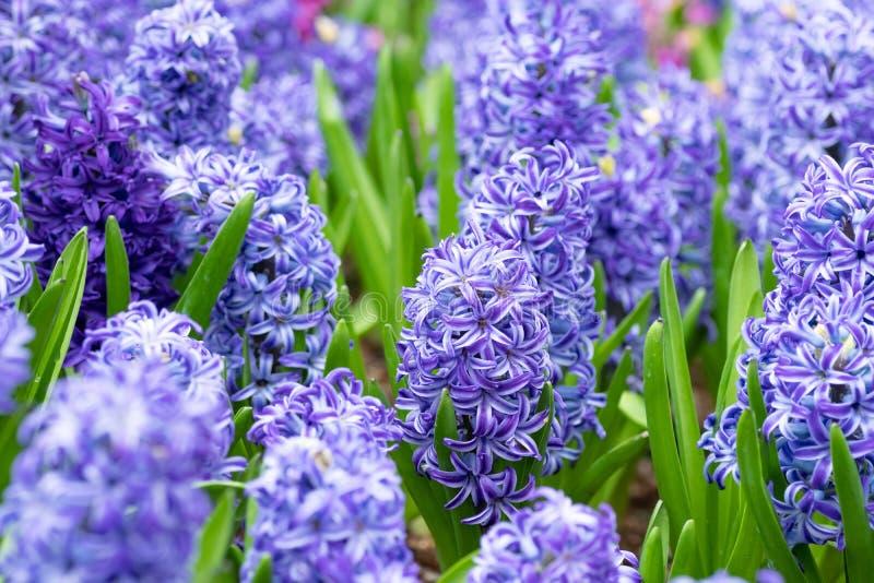 Hyacintblomma i tr?dg?rden makro av den purpurfärgade hyacintblommaängen i vårsäsong hyacintblommor som bakgrund arkivbilder