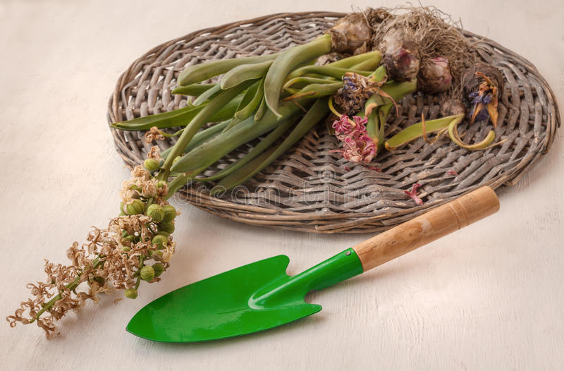 Hyacintbollen na het bloeien kracht en tuinschop stock afbeelding