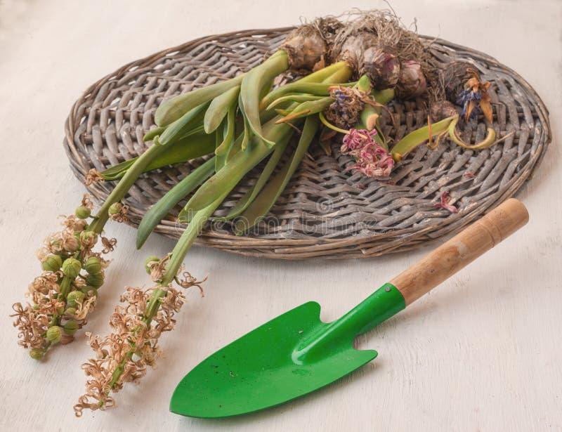 Hyacintbollen na het bloeien kracht en tuinschop stock foto