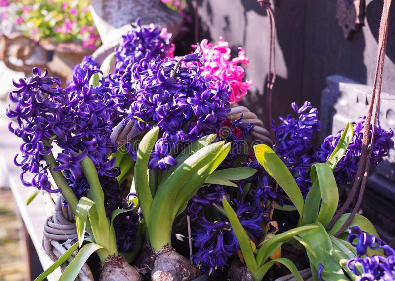 Hyacintenbloei royalty-vrije stock afbeeldingen