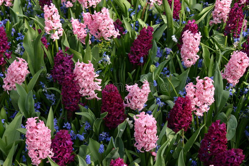 Hyacinter royaltyfri foto