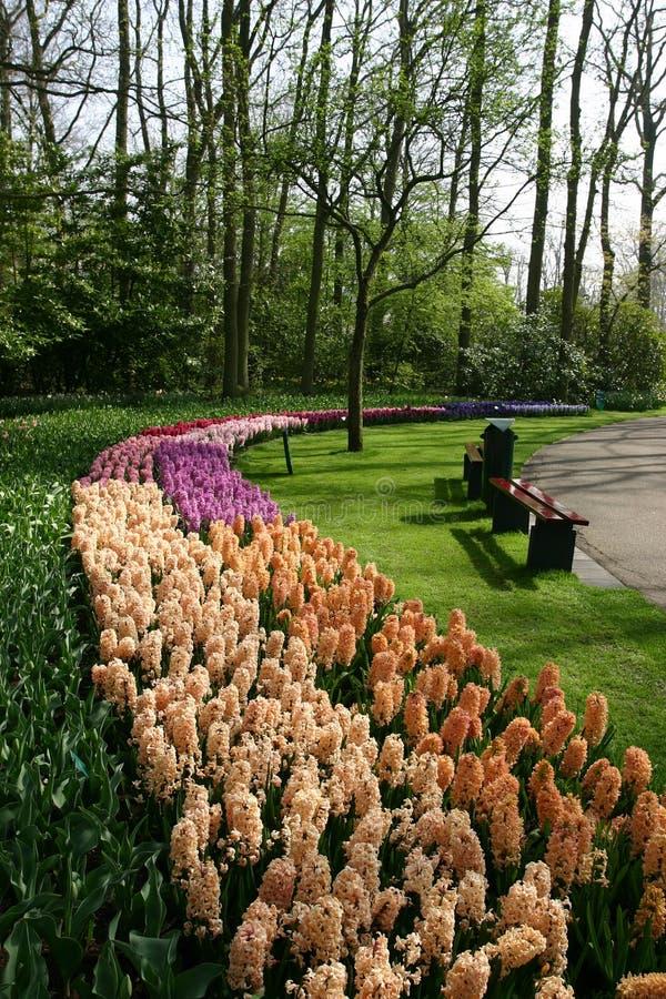 Hyacinter i de Keukenhof trädgårdarna. arkivfoto