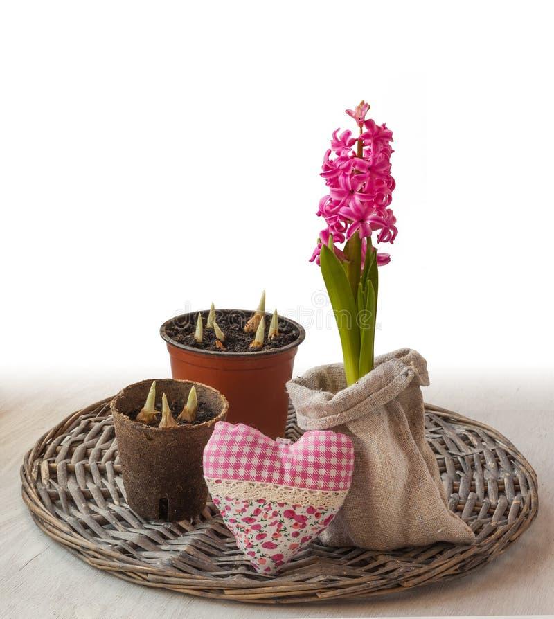 Hyacinter, påskliljor grodd och hjärta royaltyfria foton