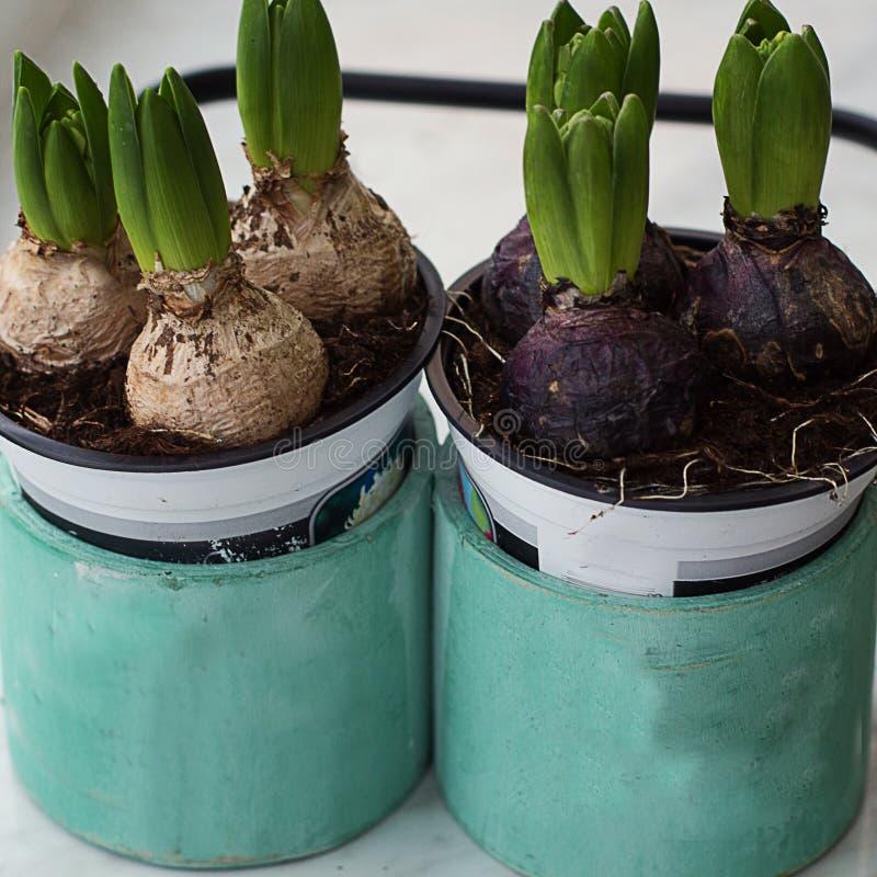 Hyacinter växer i en träask på fönstret royaltyfri bild