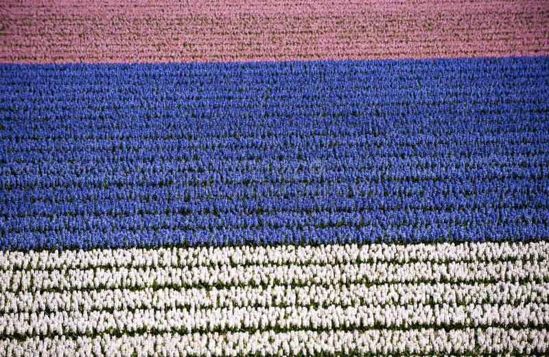 Hyacintfält, rosa färg, blått, vit, Nederländerna fotografering för bildbyråer