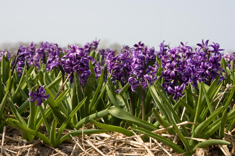Download Hyacinth stock photo. Image of sunny, holland, spring - 23711516