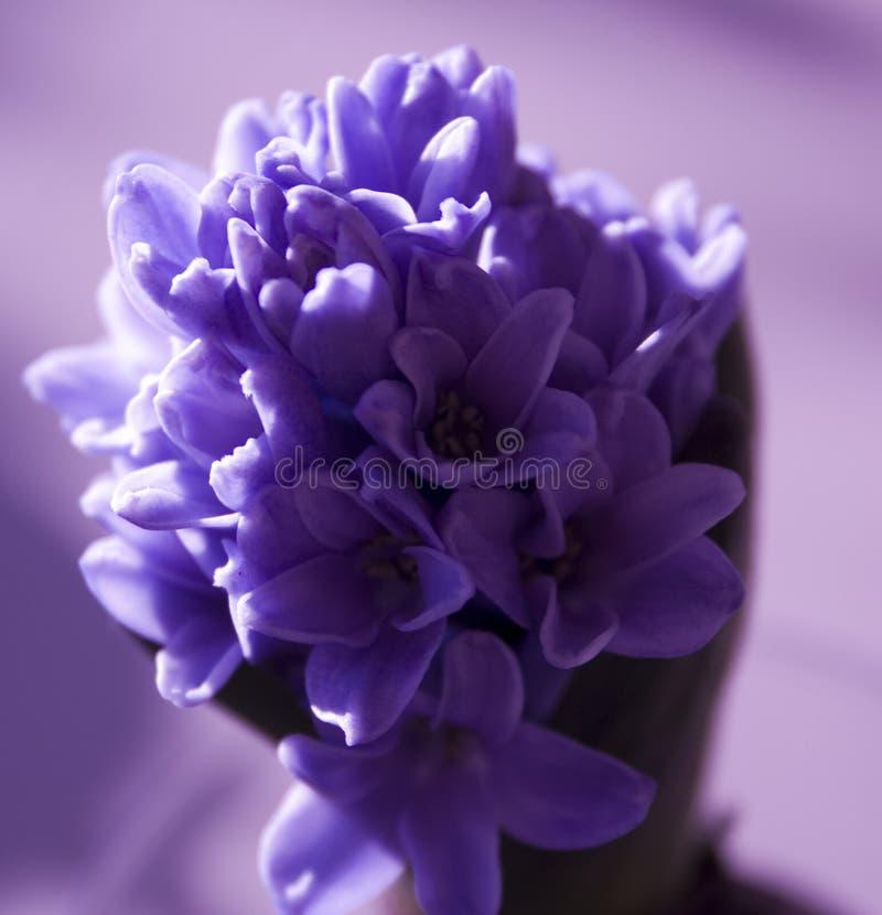 Hyacinth. Purple hyacinth stock photography