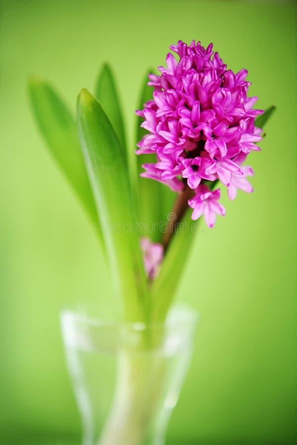 Free Hyacinth Royalty Free Stock Photography - 4849777
