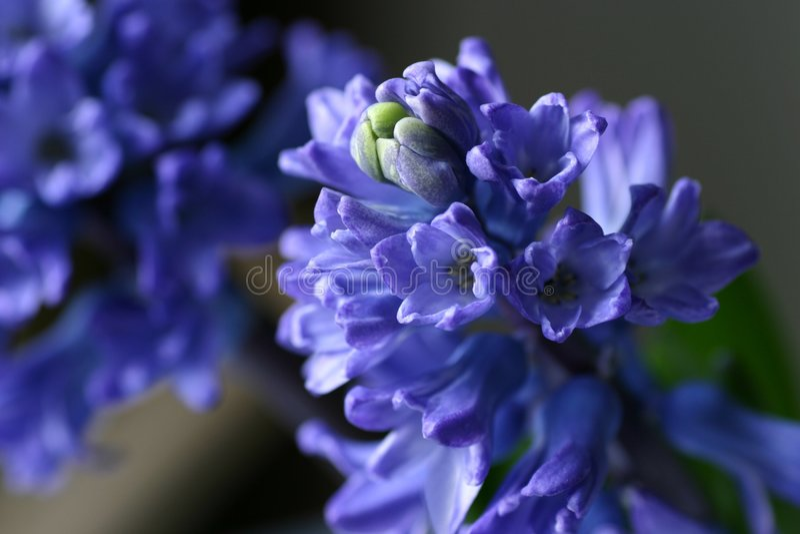 Hyacinth stock photography