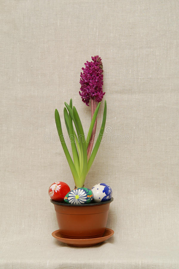 Hyacinth 8 royalty free stock photography