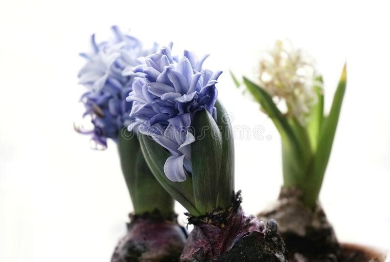 hyacinth close-up white background green leaves blue flower stock images