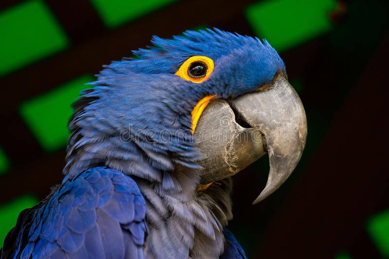 Hyacinth Blue Macaw Parrot Looking royalty-vrije stock afbeelding