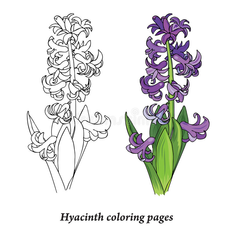Hyacinth Coloring Pages Stock Vector Illustration Of
