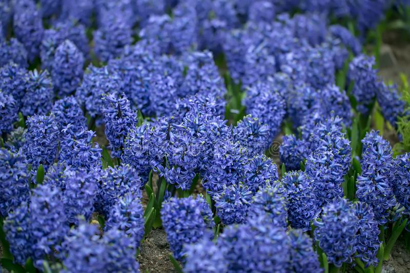 Hyacinth Flower. The Hyacinth comes from a small genus of aromatic flowers that smell nice, namely Hyacinthus. stock image