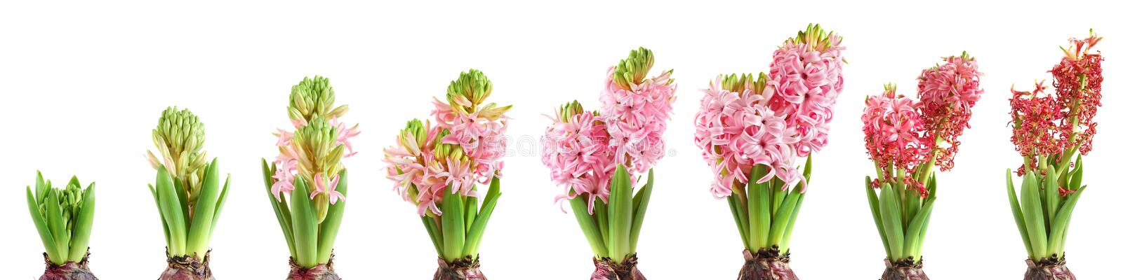 Hyacinth crescente imagem de stock royalty free