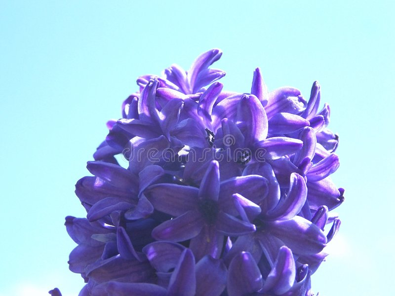 Hyacinth da mola fotos de stock