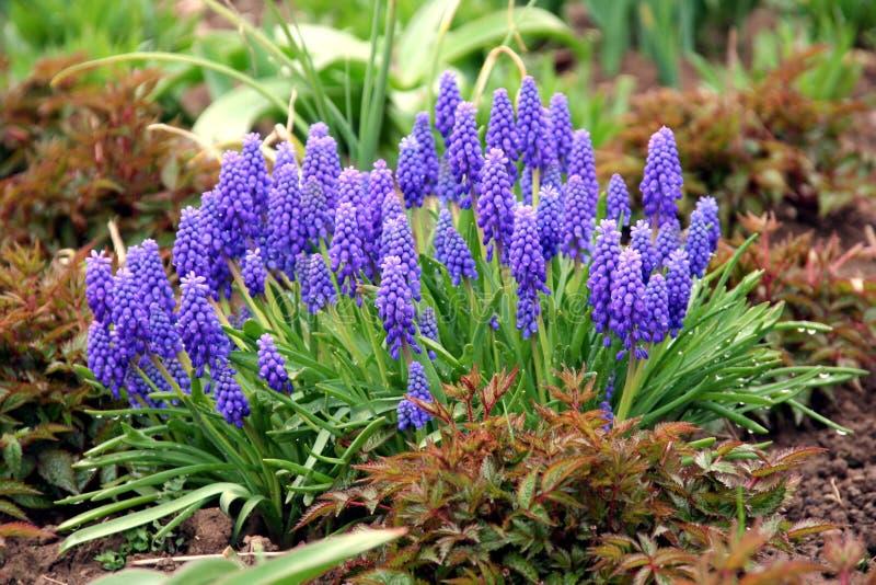 Hyacinth de uva fotografia de stock