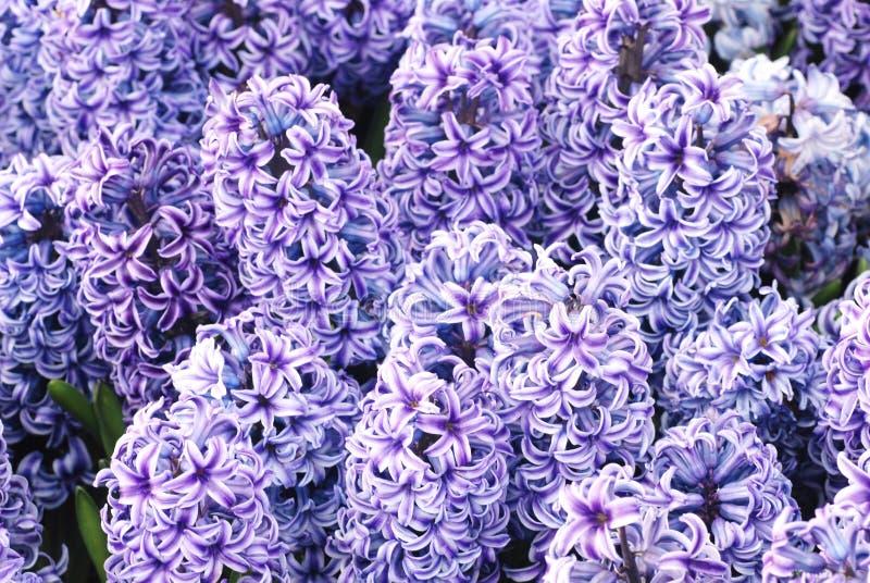 hyacinth do roxo da flor da mola imagem de stock royalty free