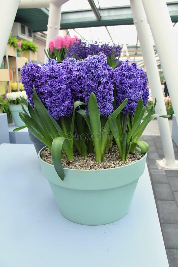Hyacinth em um potenciômetro imagens de stock