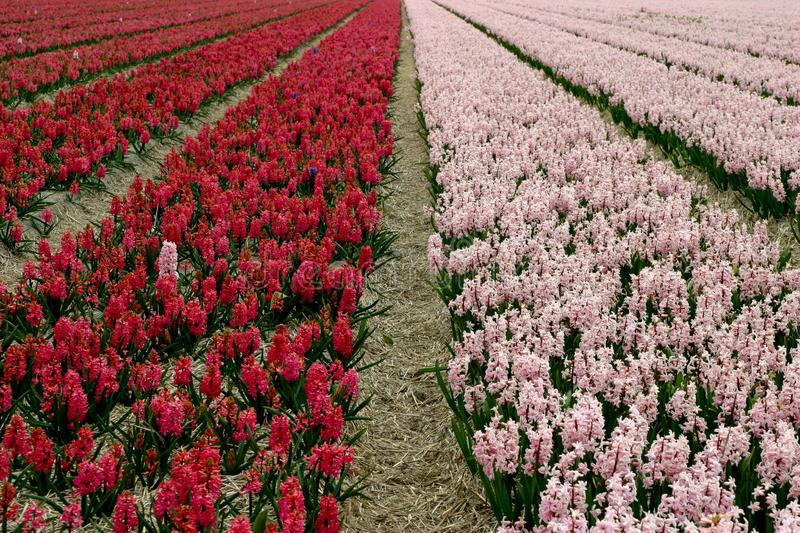 Hyacinth Field Stock Images