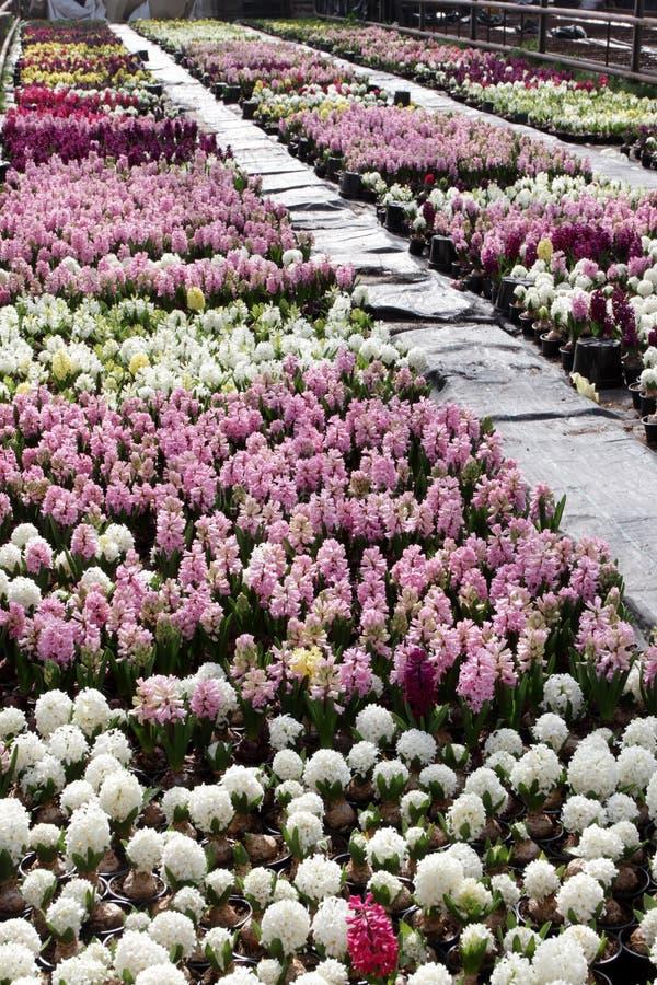 Hyacinth field of colorful spring flowers hyacinths plants in pots field of colorful spring flowers hyacinths plants in pots with bulbs in greenhouse mightylinksfo