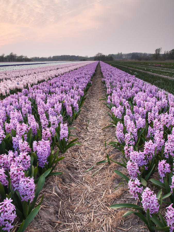 Hyacinth field in evening light royalty free stock photo