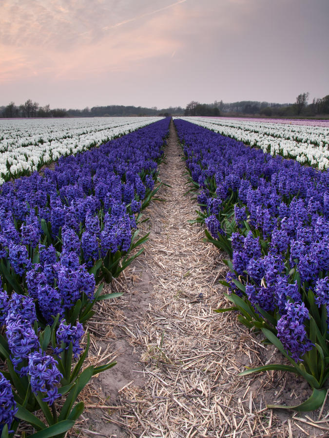 Hyacinth field in evening light royalty free stock photography