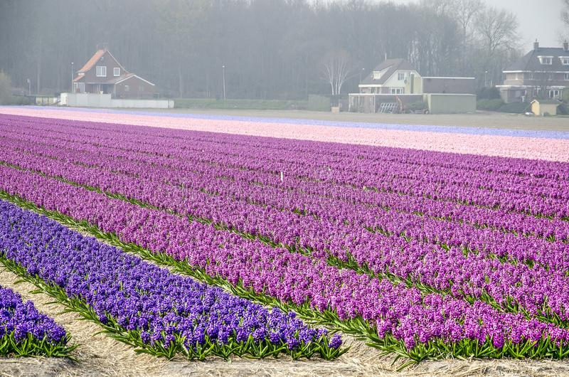 Hyacinth field and farmhouses. Hillegom, the Netherlands, April 2, 2019: field of hyaciths in various shades of purple and pink, with houses and farm buildings stock image