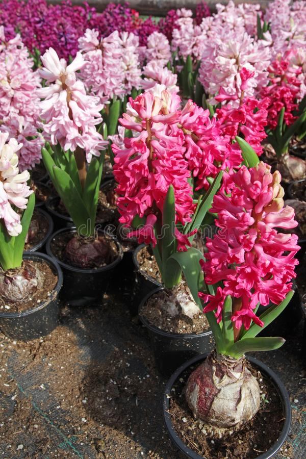 Free Hyacinth. Field Of Colorful Spring Flowers Hyacinths Plants In Greenhouse On Sunlight For Sale. Background Texture Photo Of Hyac Stock Photography - 106833412