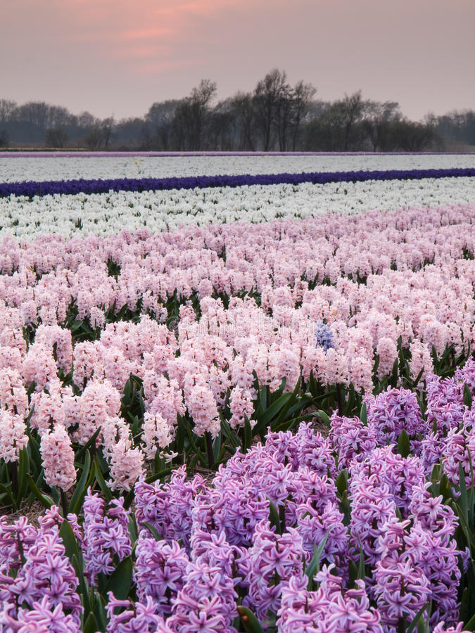 Hyacinth field at sunset stock photos