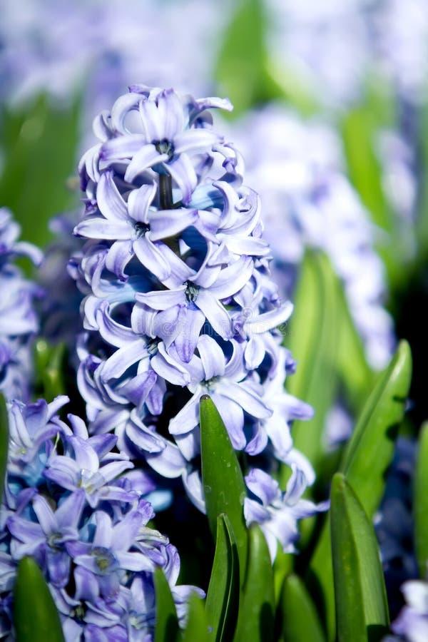 Hyacinth flower blooming during spring season royalty free stock photos