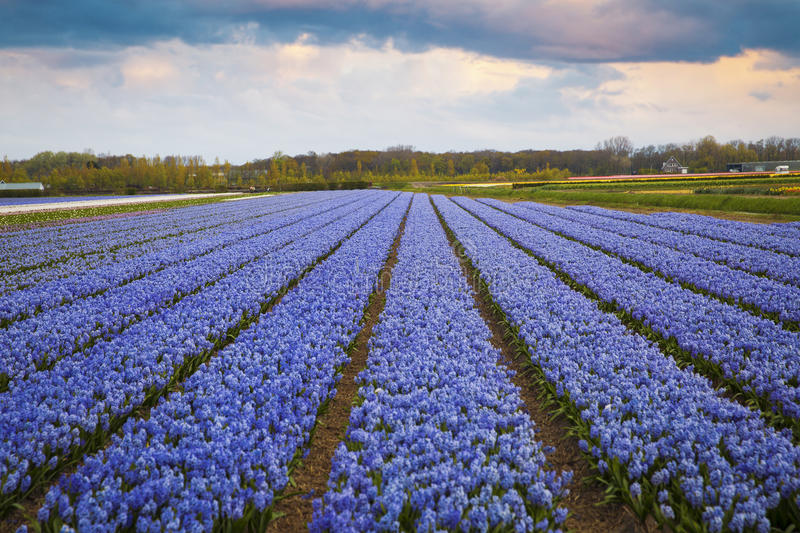 Hyacinth. flower fields in Netherlands. royalty free stock photos