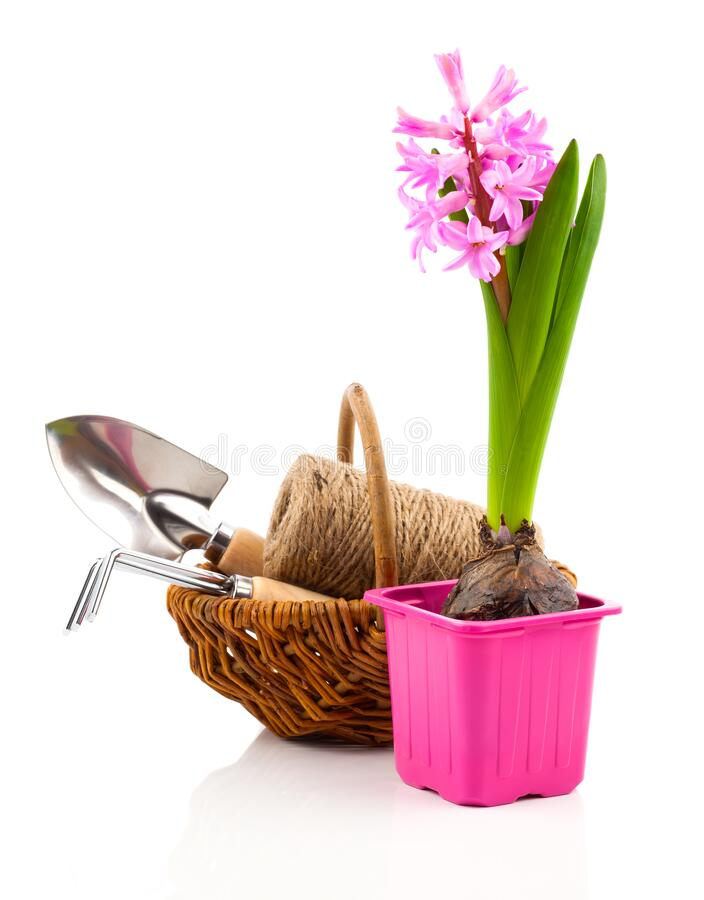 Hyacinth flower in a pot with garden tools, royalty free stock photo