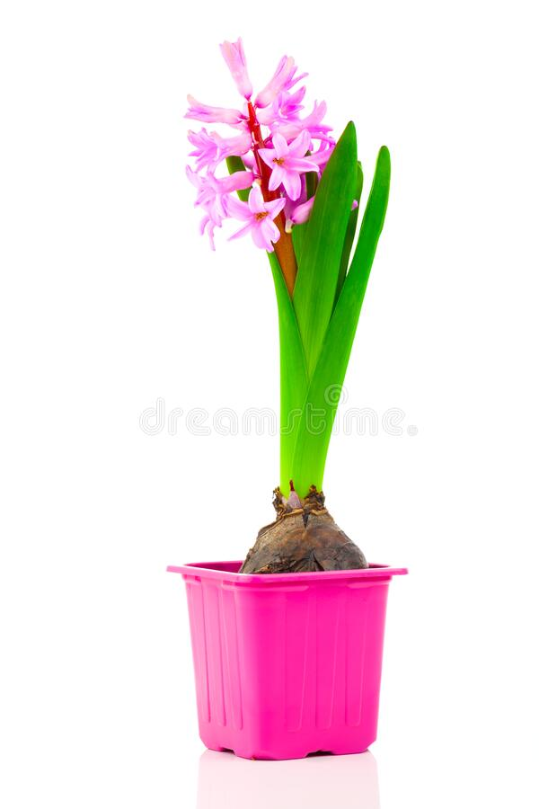 Hyacinth flower in a pot, on a white background royalty free stock photo