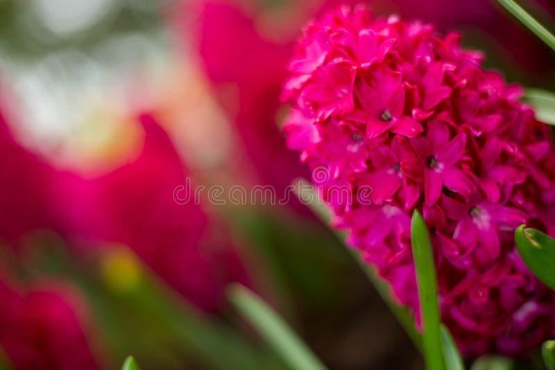 hyacinth stock image