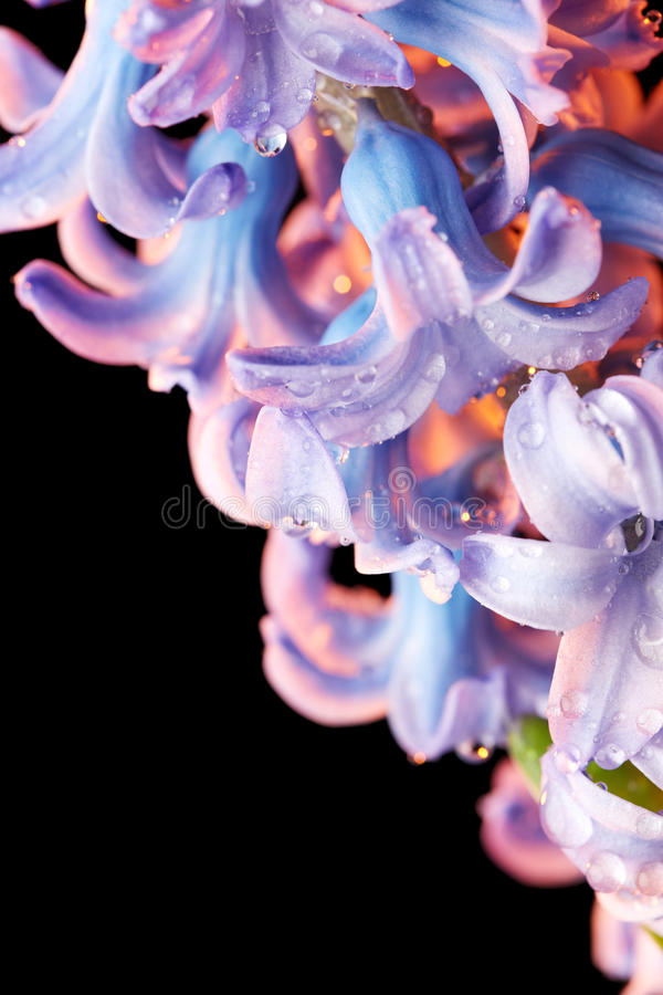 Free Hyacinth Flower With Drops Of Water Royalty Free Stock Images - 57685759