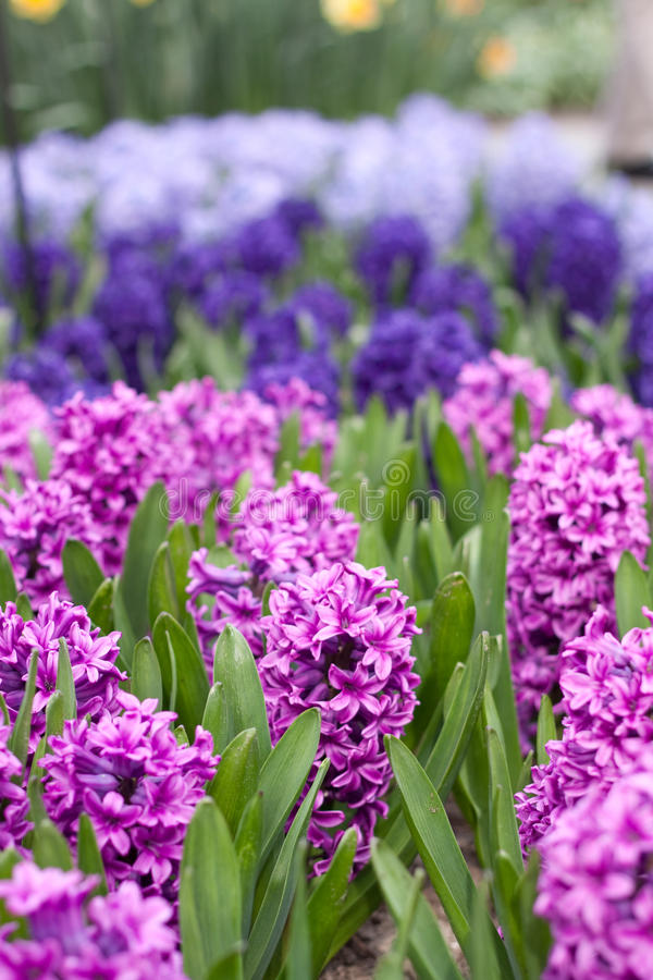 Hyacinth flowers. In the sunlight stock photo