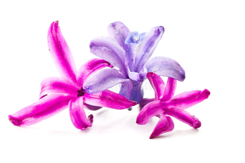 Hyacinth flowers. Beautiful flowers hyacinth close up on white background stock photos