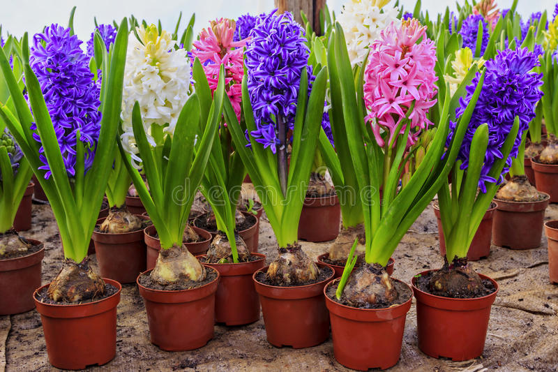 Download Hyacinth flowers stock photo. Image of nature, gardening - 36711950