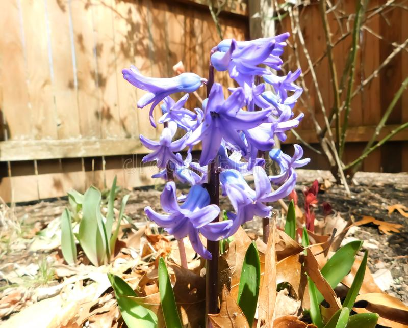 Hyacinth Flowers In Bloom roxo foto de stock